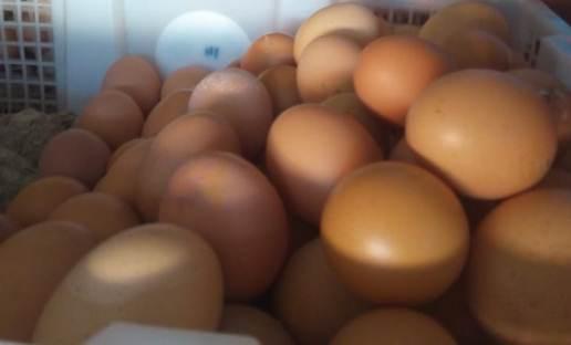 Telur Blitar Jaga Inflasi Kalsel
