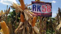 Poktan. Karya Cipta Panen Jagung dari Benih Hibrida Twinn RK 58